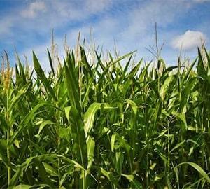Maïs en grasland