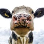 Toekomstplannen melkveehouders: Een kwart heeft geen opvolger