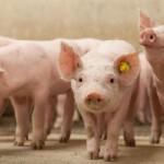 1 op de 6 varkenshouders wil investeren in nieuwbouw